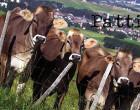 PATTI – Proseguono le ordinanze di sequestro di allevamenti di bovini affetti da brucellosi nel territorio di pattese