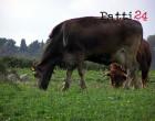 PATTI – Brucellosi bovina a Madoro, sotto sequestro un allevamento, alcuni giorni fa altro caso anche in contrada Masseria
