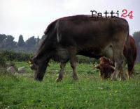 PATTI – Altri casi di brucellosi nel pattese, disposto l'abbattimento di dieci bovini
