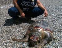 PATTI – Grosso esemplare di caretta-caretta ritrovato morto sulla spiaggia