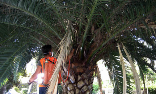 PATTI – Nuovo attacco del punteruolo  rosso sulle palme comunali, si corre ai ripari