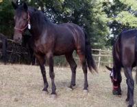 S. AGATA MILITELLO – Recuperati 2 cavalli sanfratellani rubati del valore commerciale di 4.000 euro
