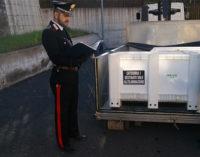 CESARO' – Sorpresi a macellare nel Parco dei Nebrodi suini neri appena uccisi