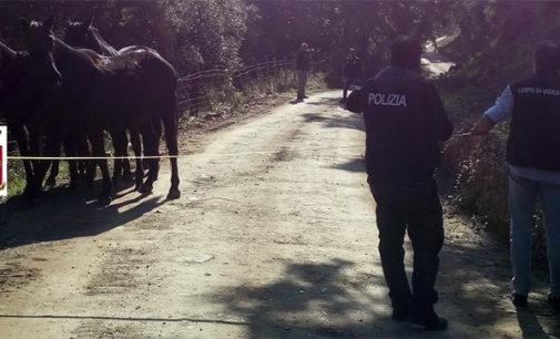 NEBRODI – Ritrovati 5 cavalli sanfratellani rubati ad un allevatore di Caronia
