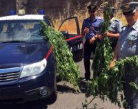 CESARO' – Il Nucleo Elicotteri dei Carabinieri individua altra piantagione di canapa indiana