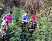 CESARO' – 40enne sorpreso a coltivare circa 500 piante di canapa indiana. Arrestato