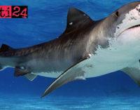 MESSINA – Avvistamento presunto squalo lungo circa 5 metri. La Capitaneria allerta i bagnanti