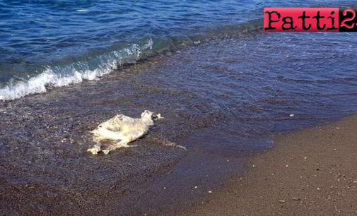 """PATTI – Mentre il topo ha preferito la """"passeggiata"""" a Marina, la pecora ha voluto fare un bagno a Mongiove ed è annegata, mischina !"""