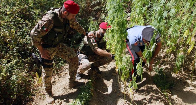 SANTA LUCIA DEL MELA – Scoperta una consistente piantagione di cannabis indica
