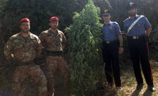 MESSINA – Scoperta una piantagione di canapa indiana. Arrestato un 23enne