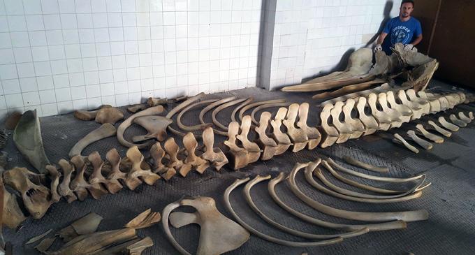 MILAZZO – Capodoglio spiaggiato, recuperato e conservato lo scheletro per finalità di studio
