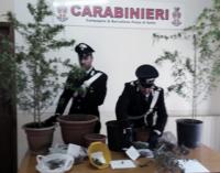 """BARCELLONA P.G. – 52enne barcellonese arrestato per coltivazione e detenzione ai fini di spaccio di """"marijuana""""."""