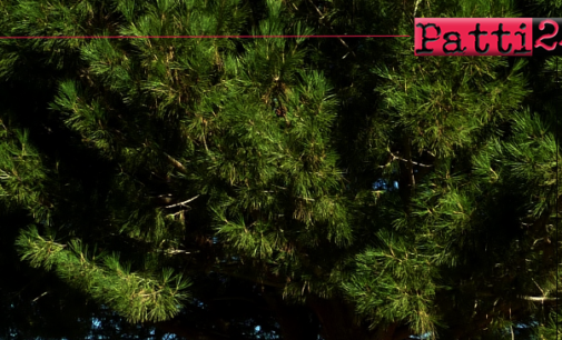 PATTI – Necessario il taglio di 4 alberi di pino tra via Pascoli e via Magretti.