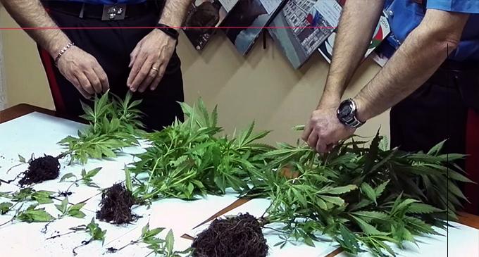 SANTA LUCIA DEL MELA – Sorpreso con 25 piantine di marijuana sul terrazzo della propria abitazione. Arrestato 25enne