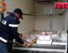 PATTI – Sequestrati 50 Kg di pesce pericoloso per la salute pubblica. Sanzioni per 1.500,00 euro