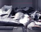 MESSINA – Guardia di Finanza sequestra 1.400 Kg di tonno rosso, sprovvisto di tracciabilità e etichettatura.