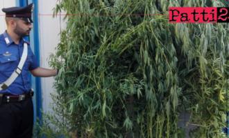 MESSINA – Tre arresti per coltivazione di cannabis indica. Colti in flagranza di reato mentre annaffiavano le piante.