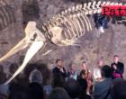 MILAZZO – Al Bastione di Santa Marina, inaugurato il Mu.Ma con l'esposizione dello scheletro del capodoglio.