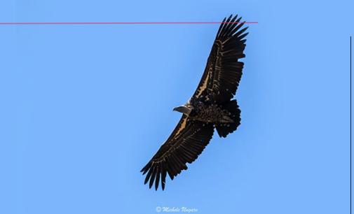 NEBRODI – Avvistato un avvoltoio  della specie Rüppell fra i grifoni della colonia del Parco dei Nebrodi