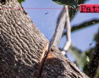 PATTI – Intervento potatura alberi ad alto fusto lungo le vie cittadine.